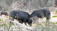 brucellosis in NSW putting humans at risk