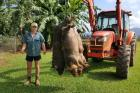 Feral-pigs spread of Panama TR4 in Queensland banana farms